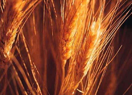 glutine grano