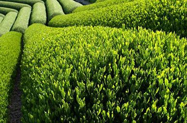 piante per dimagrire