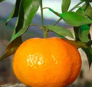 mandarino dieta
