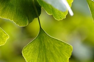 Ginkgo Biloba a cosa serve