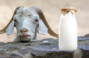 Meglio il latte di capra a dieta?